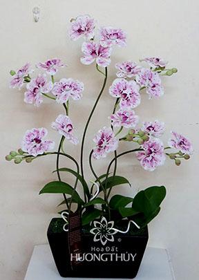 Hoa Đất Hương Thủy-Hồ điệp trắng đốm 5 cành