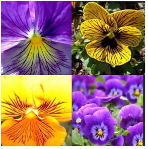Hoa bướm – Pansy