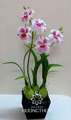 Hoa đất Hương Thủy – Lan Công size nhỡ màu trắng tím – cao 38 -ngang 22 – sâu 10cm