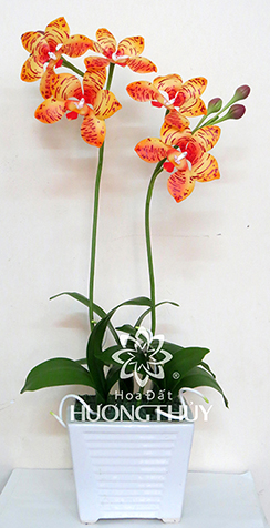Hoa đất Hương Thủy – Lan Vi-ô-lây màu cam