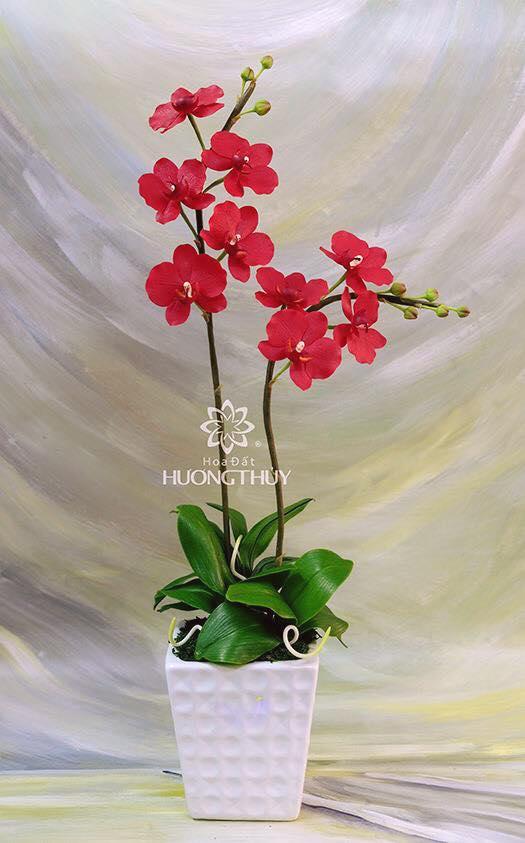 Hoa đất Hương Thủy – Lan Hồ điệp đỏ 2 cành cỡ trung