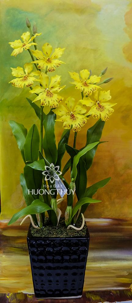 Hoa đất Hương Thủy – Lan Onxi vàng (mẫu mới)