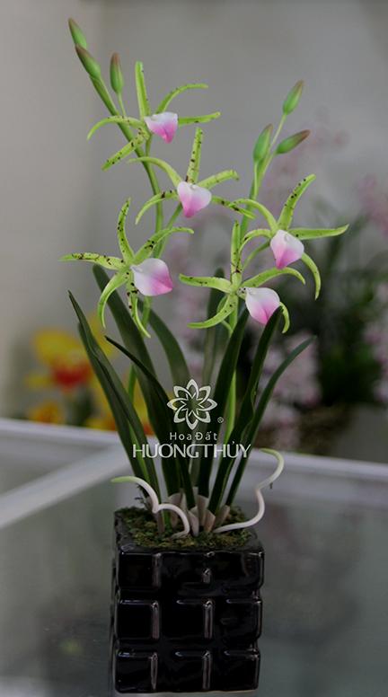 Hoa đất Hương Thủy – Hoa lan Nodosa xanh cao 30cm