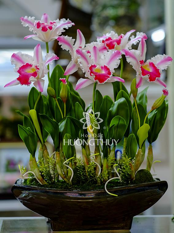 Lan Nữ hoàng trắng hồng bình bông: cao 65cm