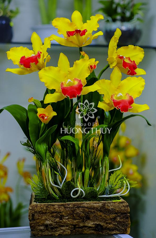 LanNữ hoàng màu vàng 5 bông: cao khoảng 60cm – ngang 45cm