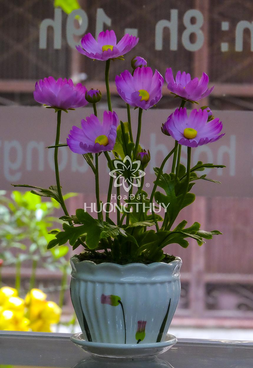 Hoa Bướm màu tím hồng: cao 25cm-ngang 18cm
