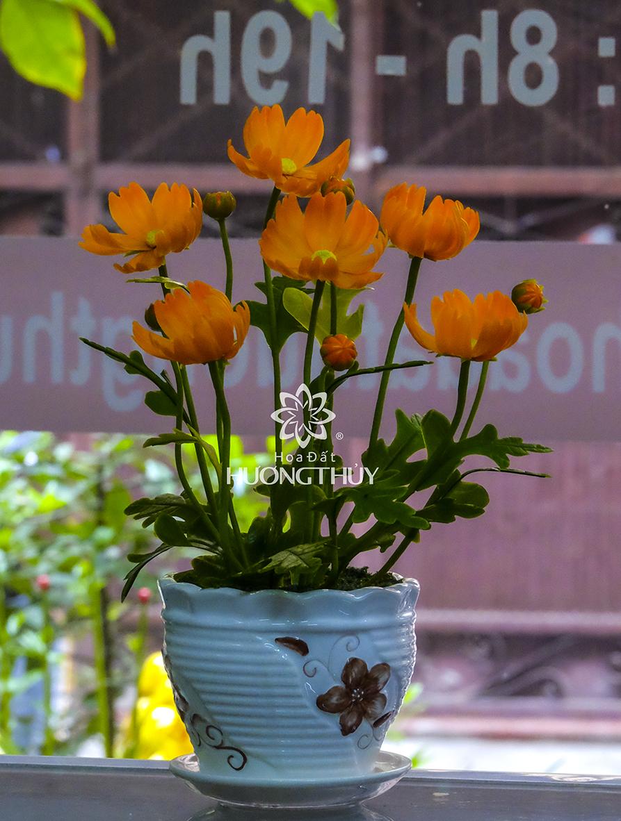 Hoa Bướm màu tím cam: cao 25cm-ngang 18cm