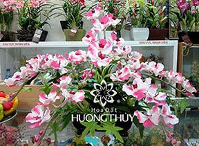 Hoa Đất Hương Thủy-Vanđa chùm trắng tím