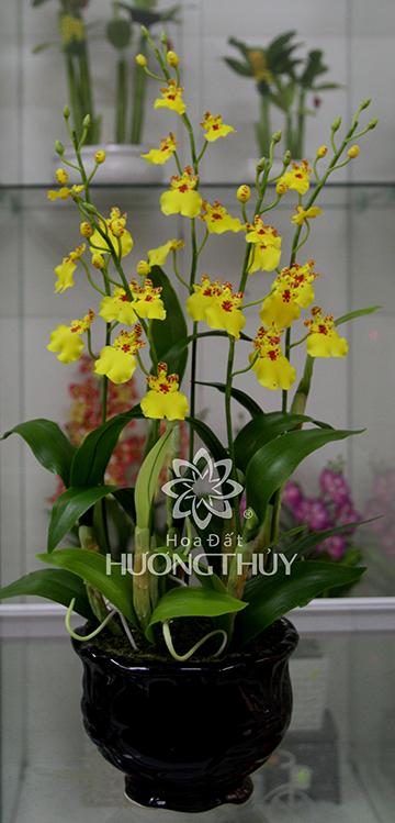Hoa đất Hương Thủy – Lan Vũ nữ 3 cành màu vàng cao 60cm