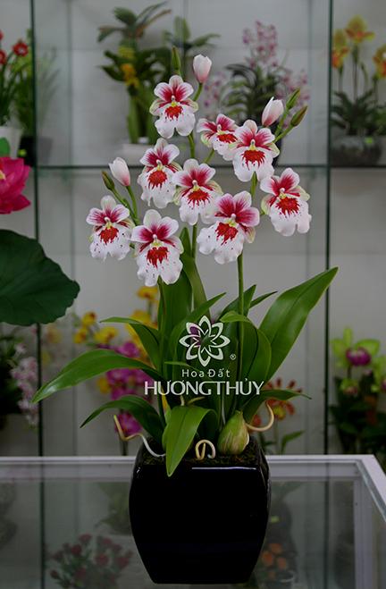 Hoa đất Hương Thủy – Lan Công trắng cao 65cm
